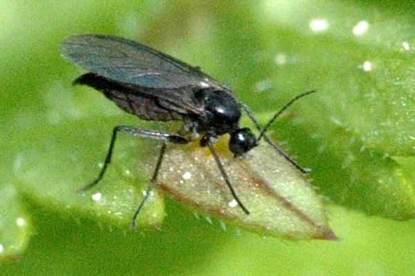 les sciarides mouches du terreau n aiment pas les sols secs jardinier paresseux. Black Bedroom Furniture Sets. Home Design Ideas
