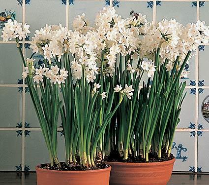 Faire refleurir un narcisse paperwhite jardinier paresseux - Faire refleurir un amaryllis ...