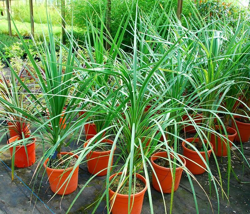 Cordyline australis jardinier paresseux - Cordyline feuilles qui jaunissent ...