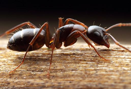 Contr ler les fourmis charpenti res dans la maison jardinier paresseux - Pourquoi des fourmis dans la maison ...