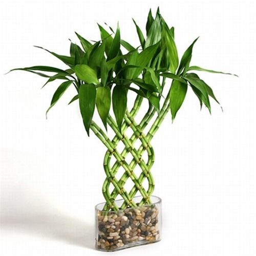Lucky bambou jardinier paresseux for Plante interieur bambou