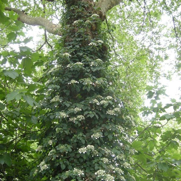 plante grimpante sous un arbre