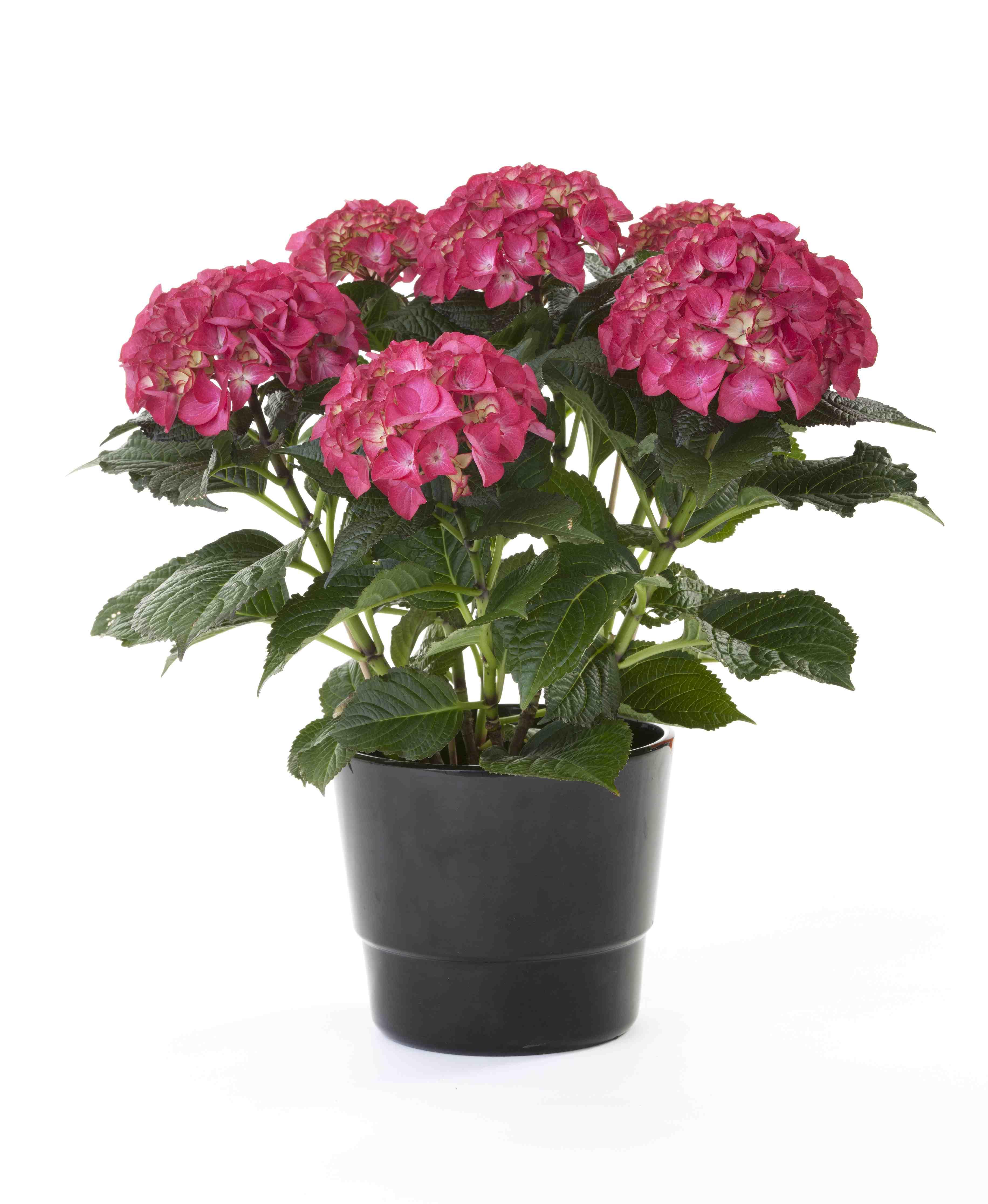 Avec ses grosses «boules» de fleurs bleues, roses, violettes, rouges, pourpres ou blanches, lhydrangée à grandes feuilles, appelée aussi quatre,saisons ou