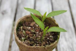 capsicum-seedlings-small_g1jpg