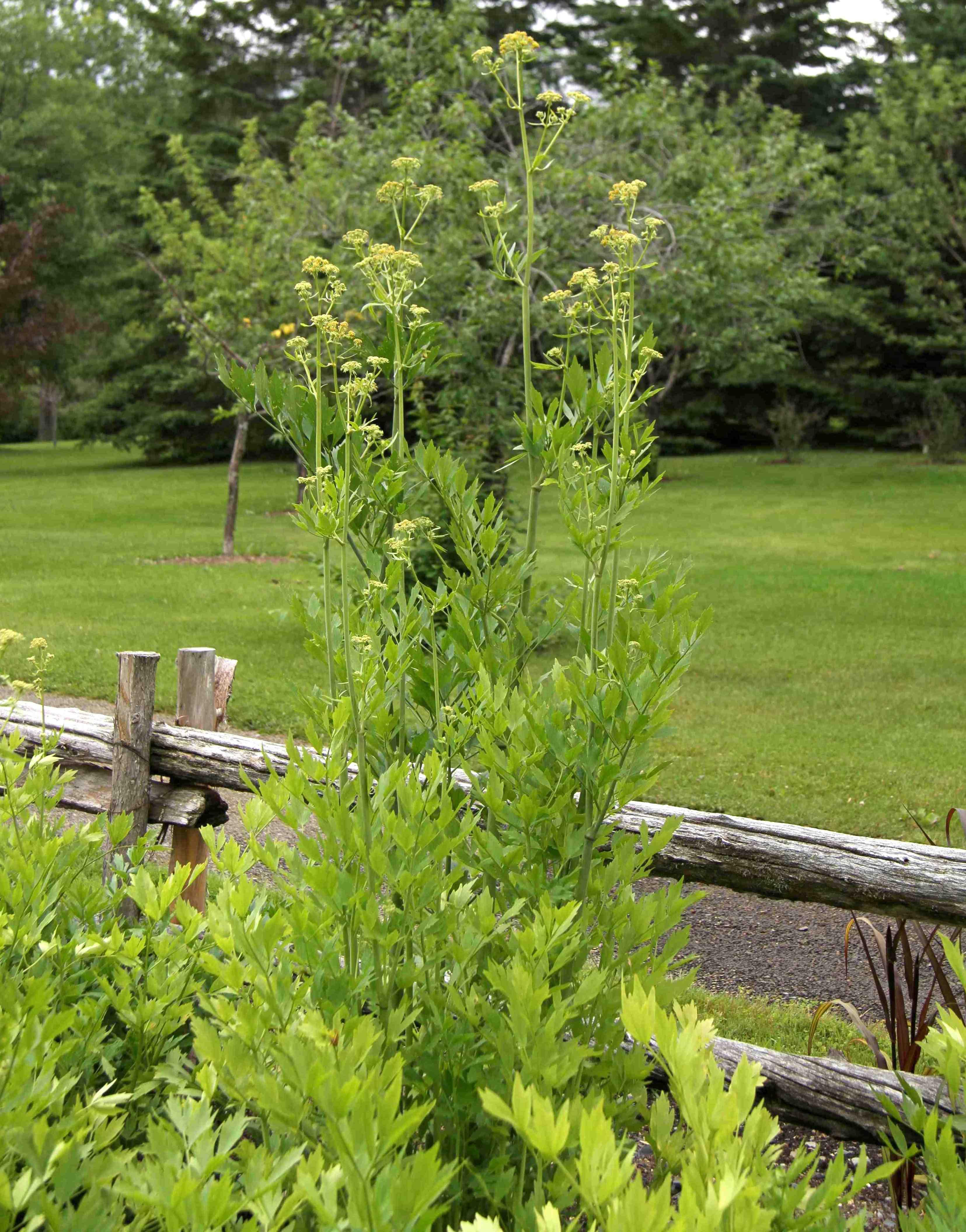 La liv che le c leri des jardiniers paresseux - Que faire avec les feuilles de celeri ...