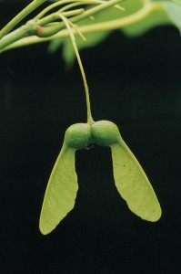 Acer saccharum fruit