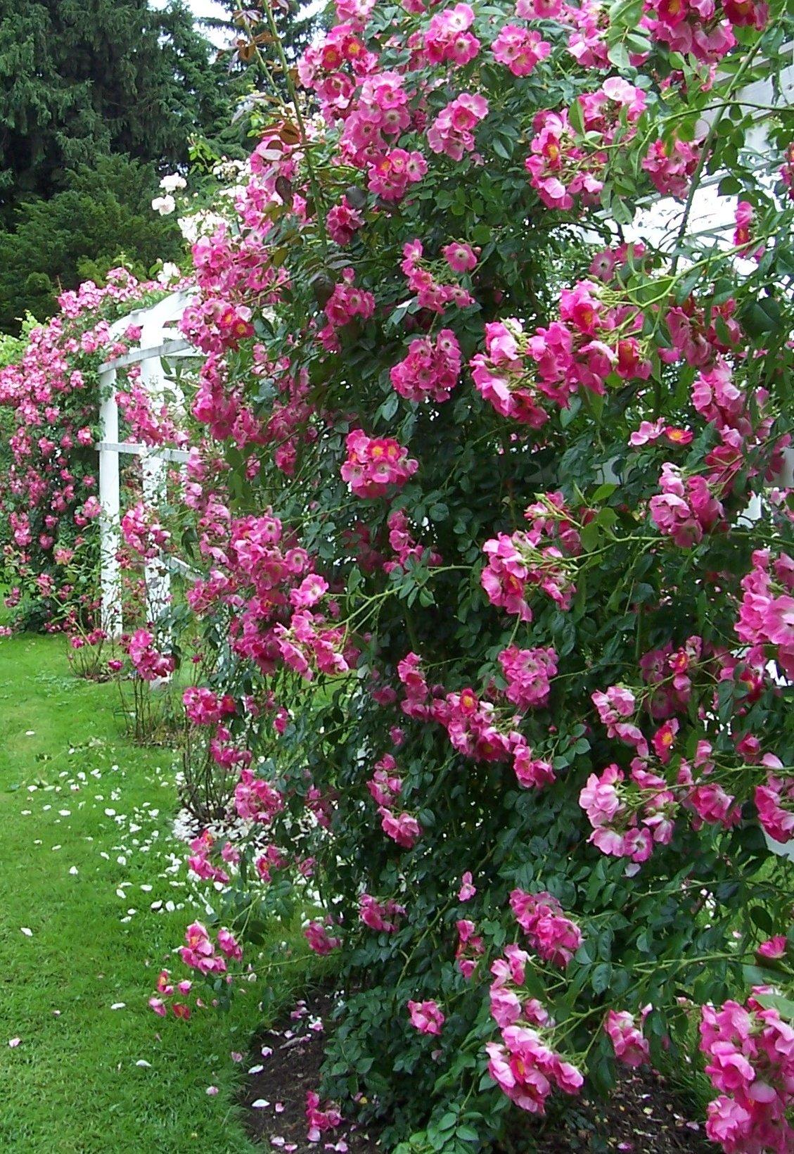 Rosier grimpant jardinier paresseux - Comment fixer un rosier grimpant au mur ...