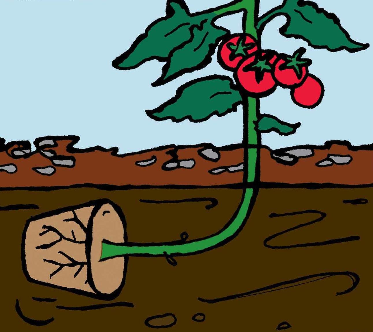 Des Tomates A L Horizontale Jardinier Paresseux