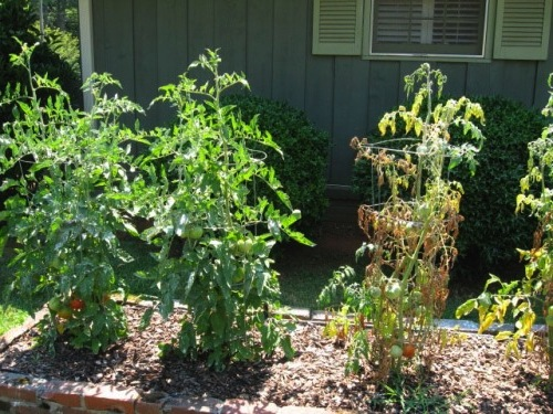 Maladies des tomates jardinier paresseux - Maladie pied de tomate ...
