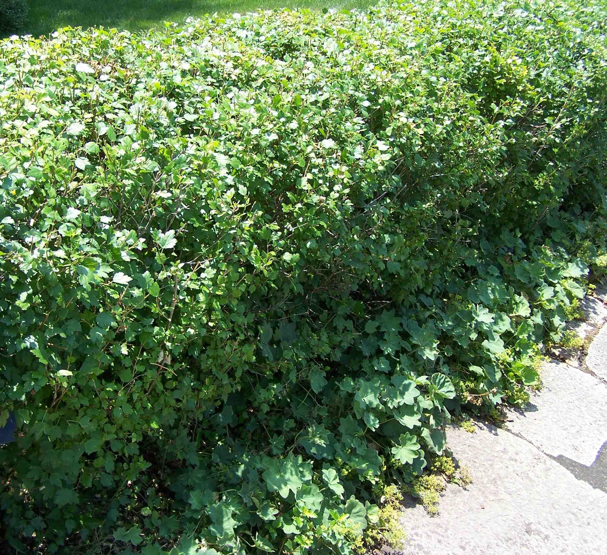 arbustes haie pour le qu bec jardinier paresseux. Black Bedroom Furniture Sets. Home Design Ideas