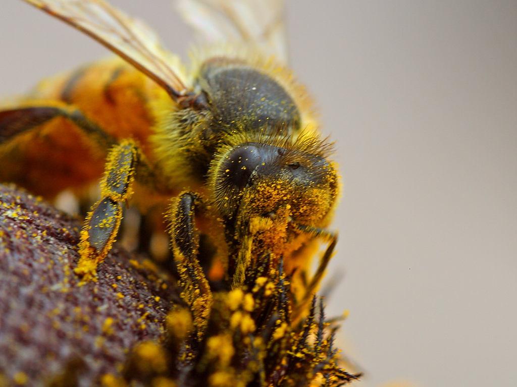 abeilles insecticides pas un bon m lange jardinier paresseux. Black Bedroom Furniture Sets. Home Design Ideas