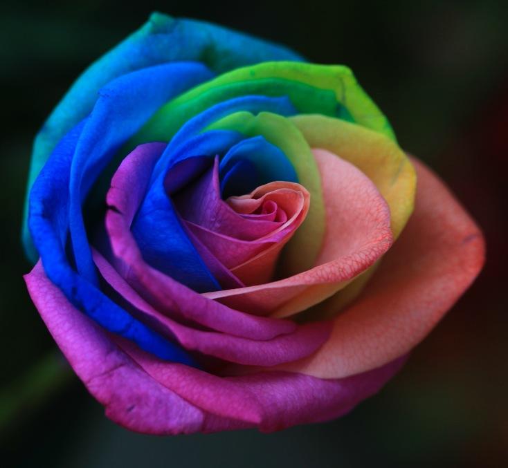 Les semis de roses arc en ciel une attrape jardinier - Comment couper une rose sur un rosier ...