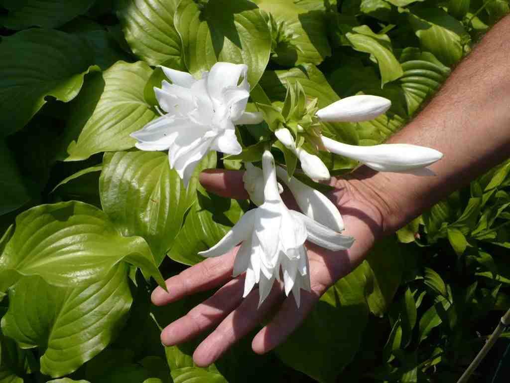Hosta plantaginea jardinier paresseux - Fleurs resistant au gel ...