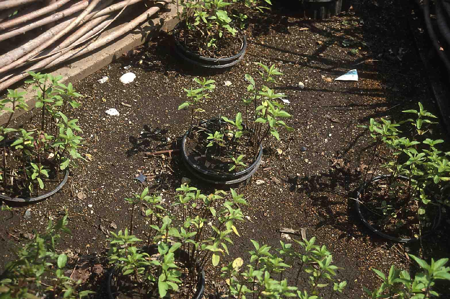 Comment Se Débarrasser Des Bambous Dans Le Jardin se débarrasser à jamais d'une plante envahissante