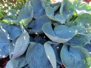 Hosta 'Abiqua Drinking Gourd': ses feuilles épaisses et fortement nervurées repoussent les limaces.