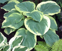 Hosta-Northern-Exposure