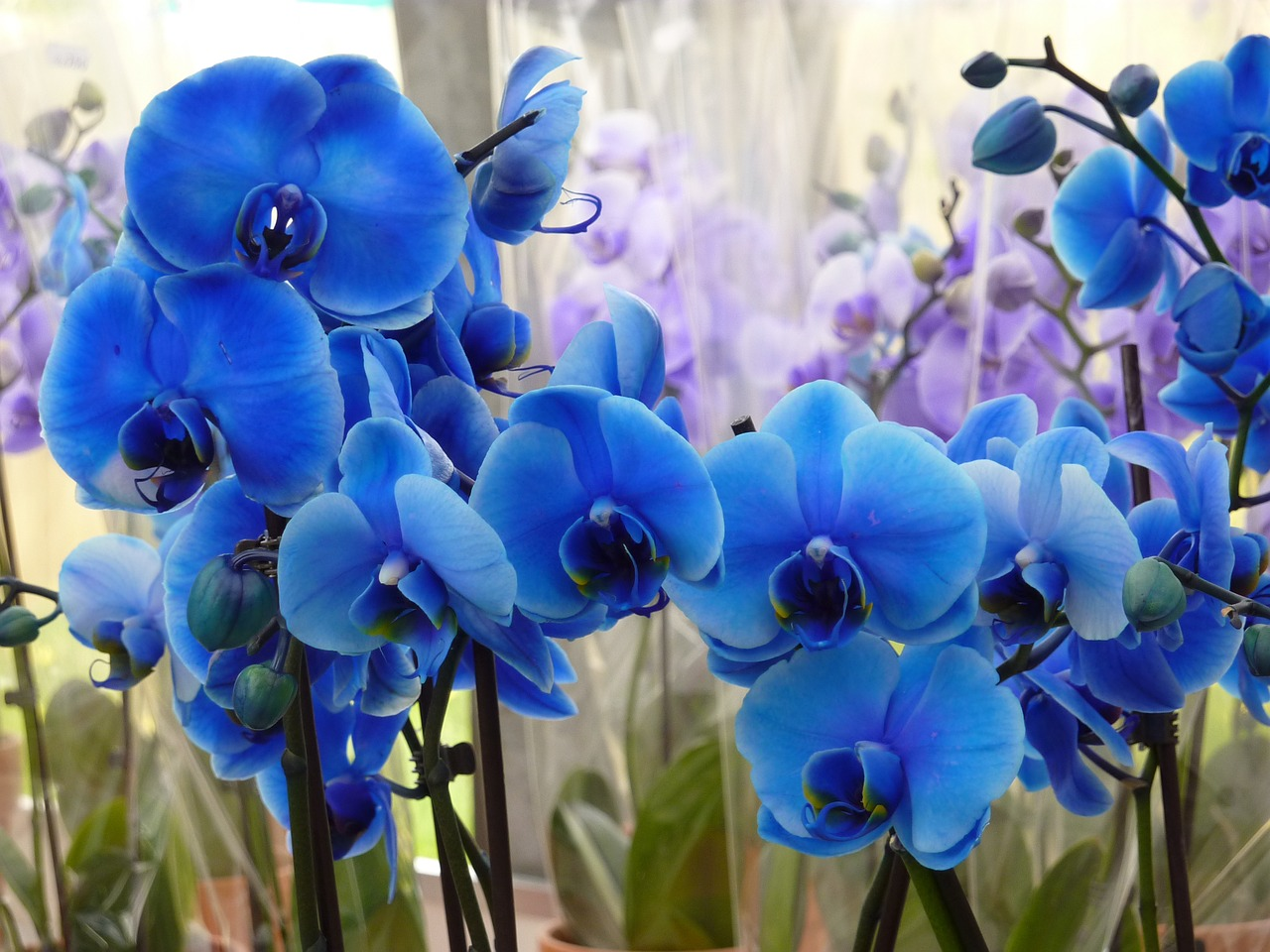 orchidee bleue injection