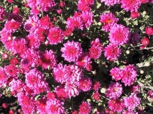 2, Chrysanthemum Morden_Fiesta_June_20_1999_large