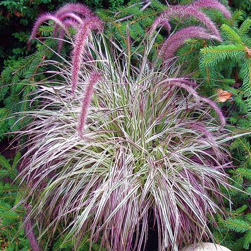 pennisetum setaceum rubrum jardinier paresseux. Black Bedroom Furniture Sets. Home Design Ideas
