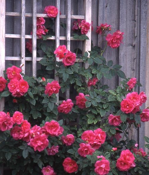 rosiers rustiques jardinier paresseux. Black Bedroom Furniture Sets. Home Design Ideas