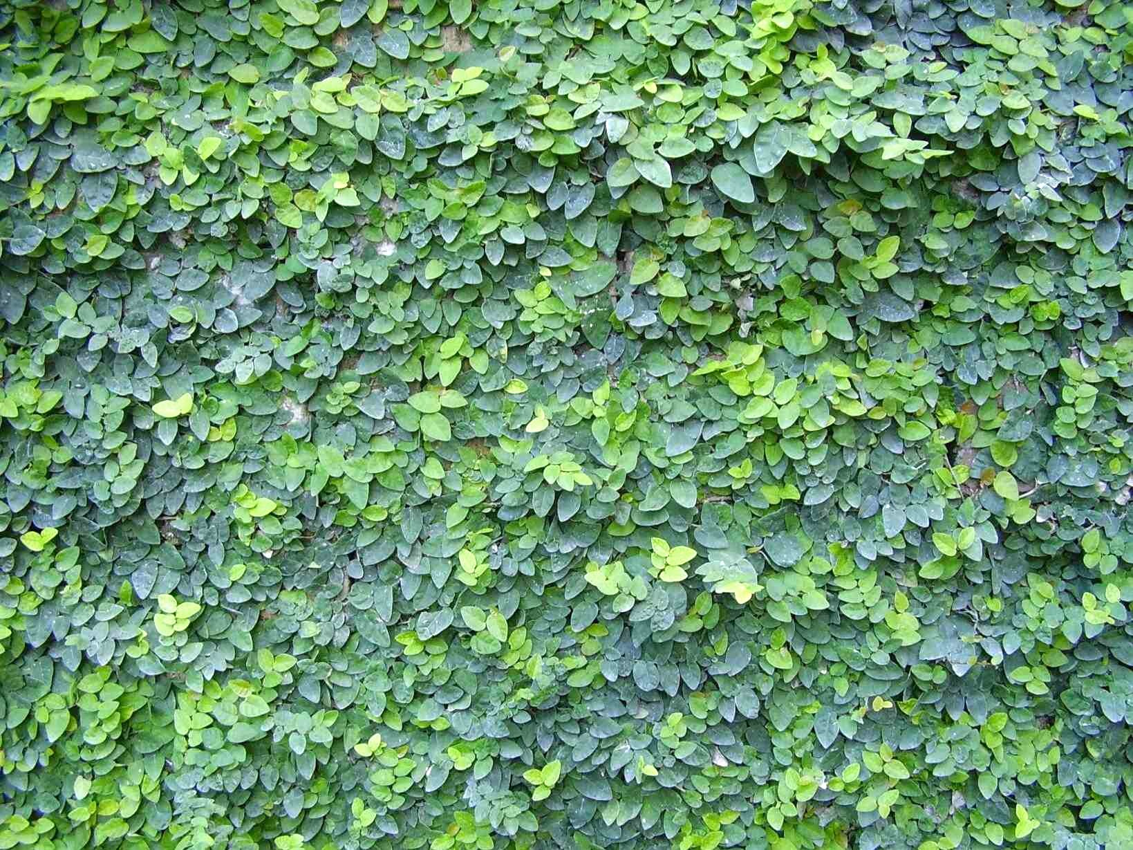 Plante Sur Les Murs une plante qui tapisse les murs intérieurs – jardinier paresseux