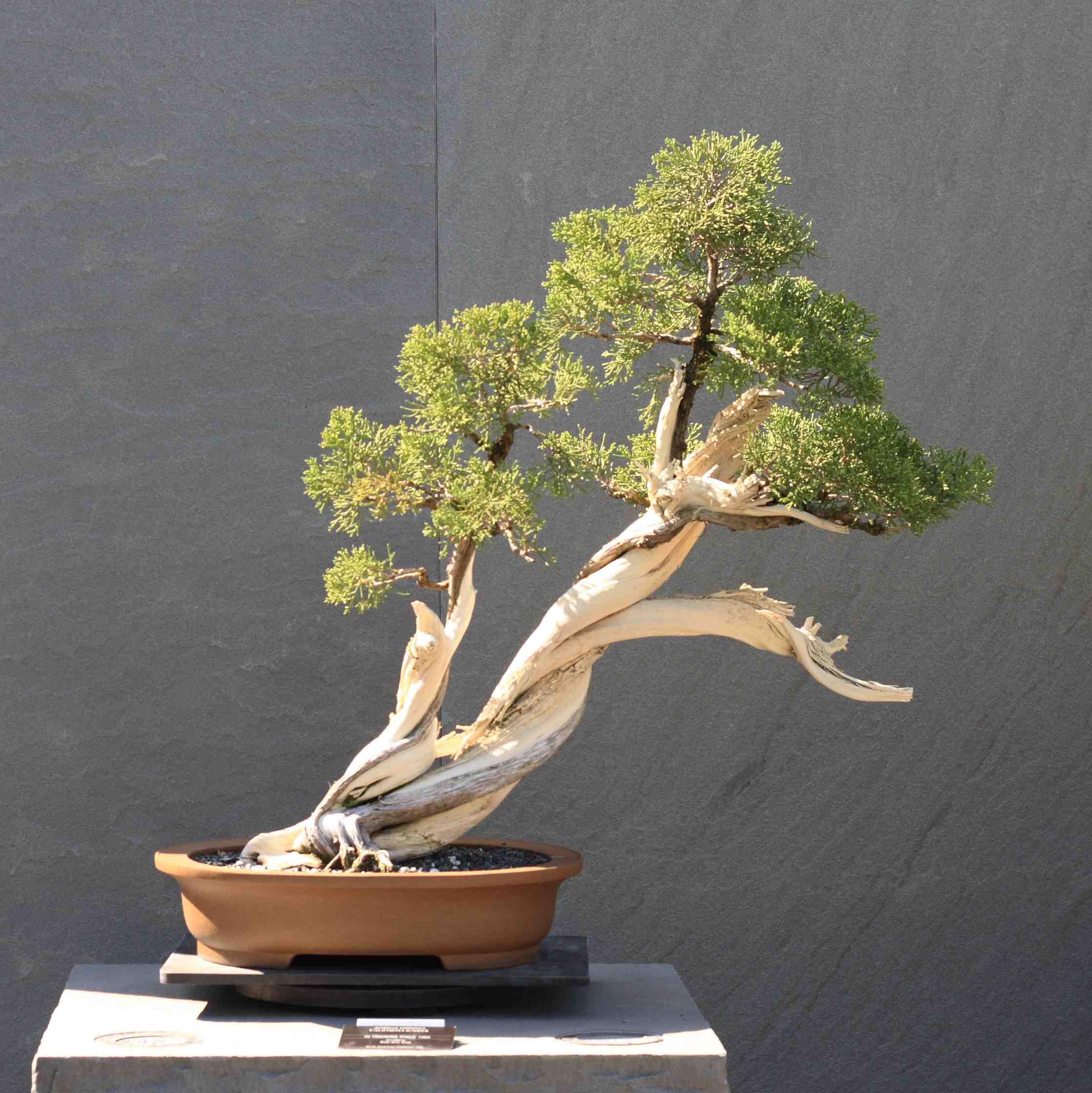 Art du bonsa jardinier paresseux - Bonsai arbre prix ...