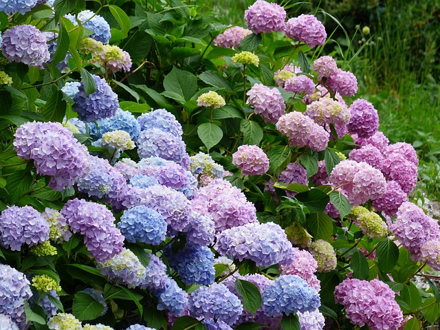 Quand tailler les hydrang es jardinier paresseux - Quand tailler un hortensia ...