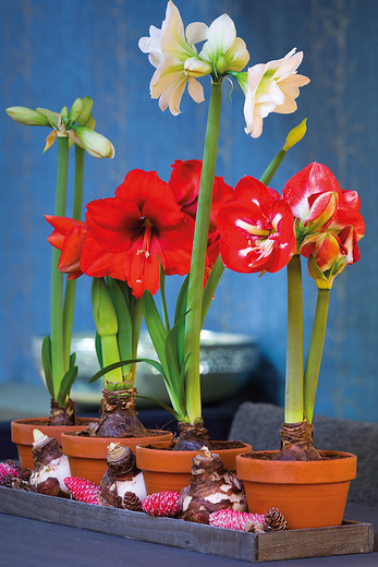 Amaryllis jardinier paresseux for Amaryllis pour noel