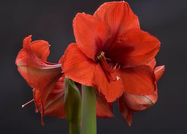 Des amaryllis pour no l jardinier paresseux for Amaryllis pour noel