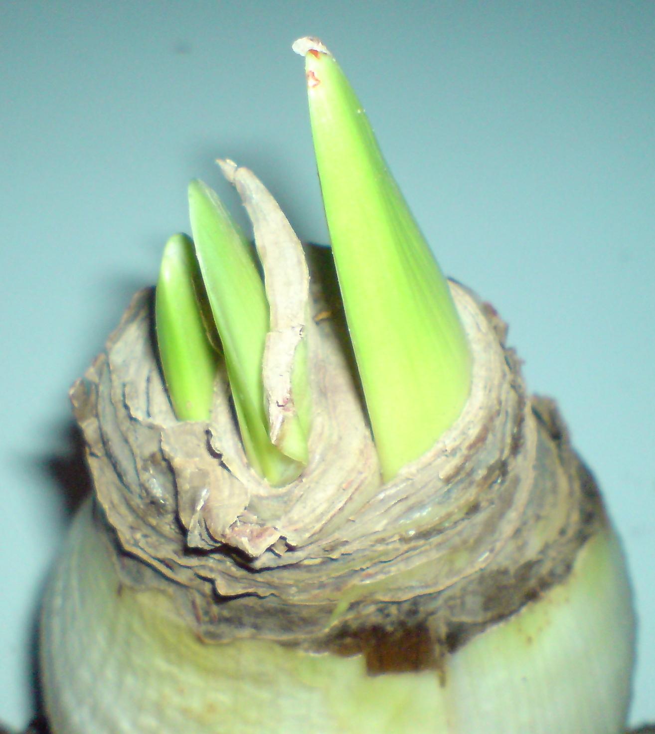 Amaryllis jardinier paresseux for Amaryllis achat bulbe