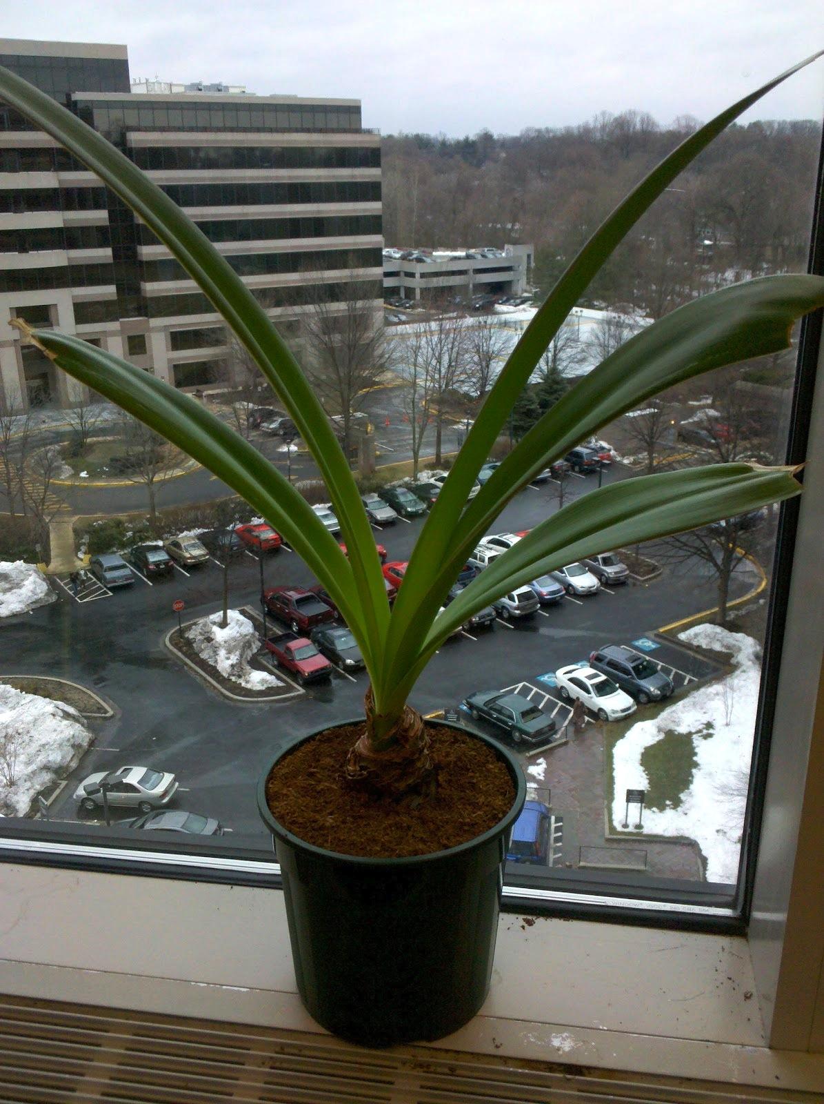 Comment faire fleurir une amaryllis jardinier paresseux - Comment couper la tige d une orchidee apres floraison ...