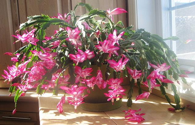 quand votre cactus de no l fleurit trop t t jardinier paresseux. Black Bedroom Furniture Sets. Home Design Ideas