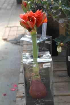 Amaryllis sans arrosage jardinier paresseux for Arrosage des amaryllis
