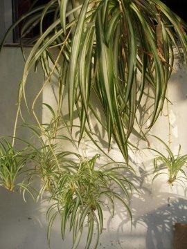 plantes non toxiques pour les chats jardinier paresseux. Black Bedroom Furniture Sets. Home Design Ideas