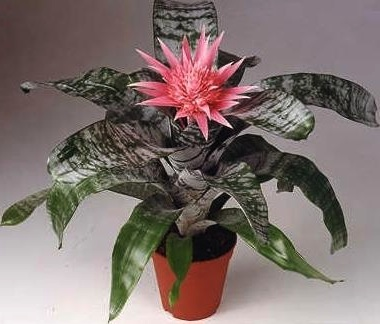 latest aechmea fasciata with aechmea entretien. Black Bedroom Furniture Sets. Home Design Ideas