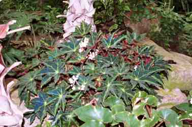 20160113KBegonia_heracleifolia_f._nigricans.jpg