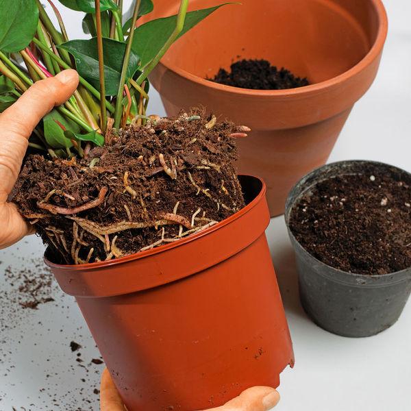 il est temps de rempoter votre plante d int rieur quand. Black Bedroom Furniture Sets. Home Design Ideas