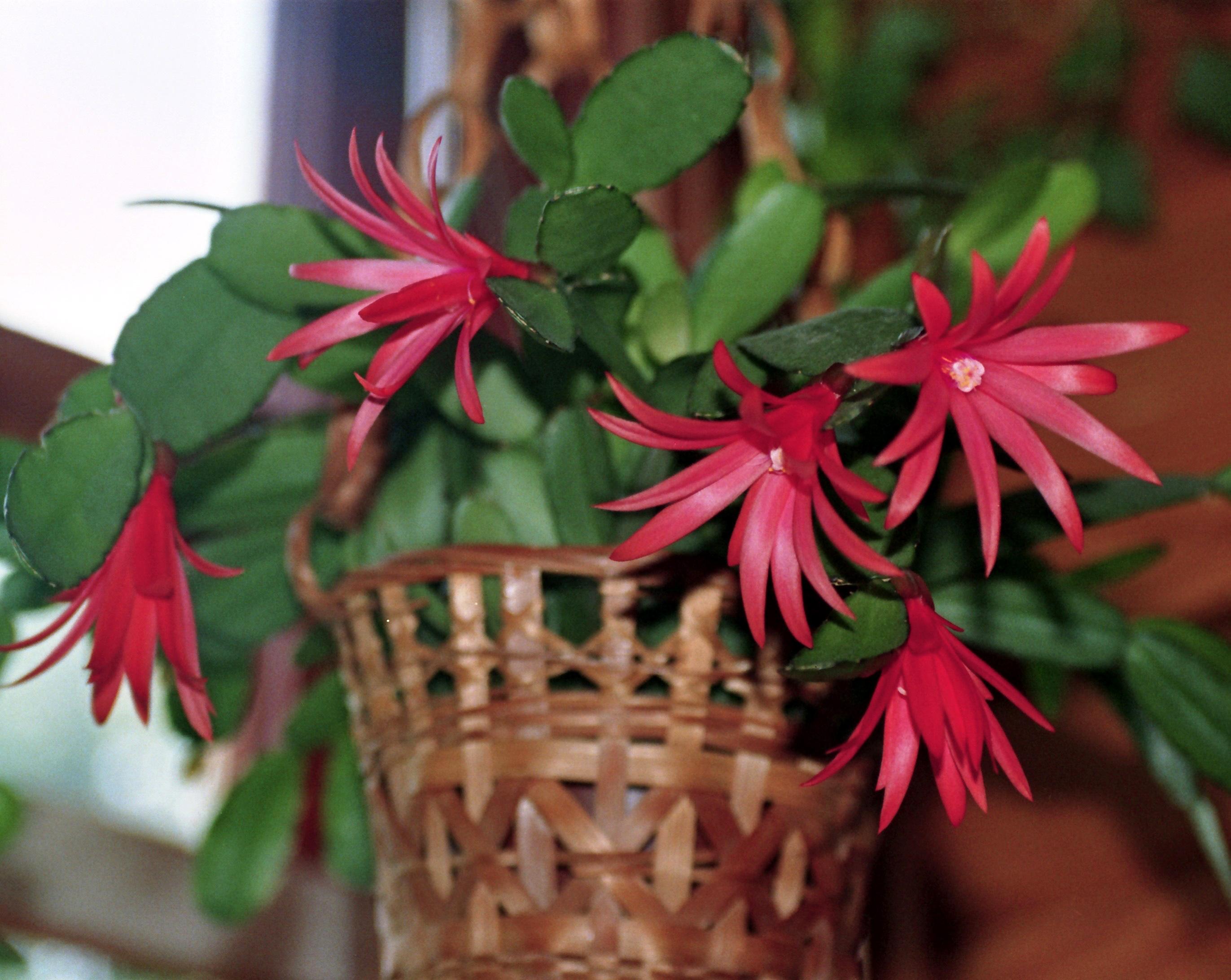 le cactus de p ques sans pines mais la culture pineuse jardinier paresseux. Black Bedroom Furniture Sets. Home Design Ideas