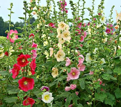 Des roses tr mi res r sistantes la rouille jardinier paresseux - Planter des roses tremieres ...