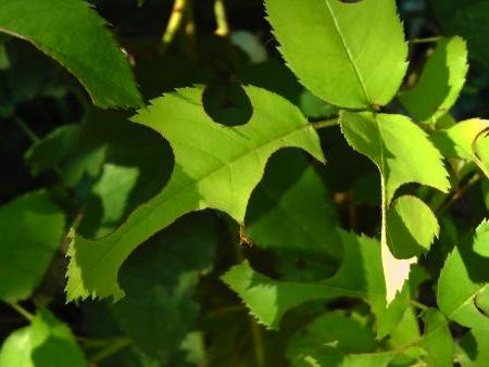 Qu est ce qui troue les feuilles des rosiers jardinier paresseux - Feuilles de rosier qui jaunissent ...