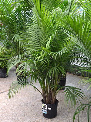 Un palmier annuel pour le jardin estival jardinier - Palmier nain en pot ...