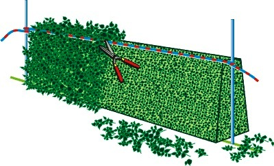 Taille des thuyas jardinier paresseux - Quand tailler les haies de thuyas ...
