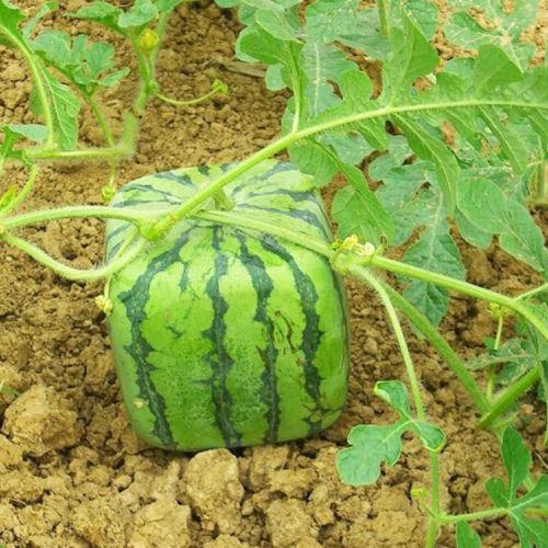 semences de melon d eau carr jardinier paresseux. Black Bedroom Furniture Sets. Home Design Ideas