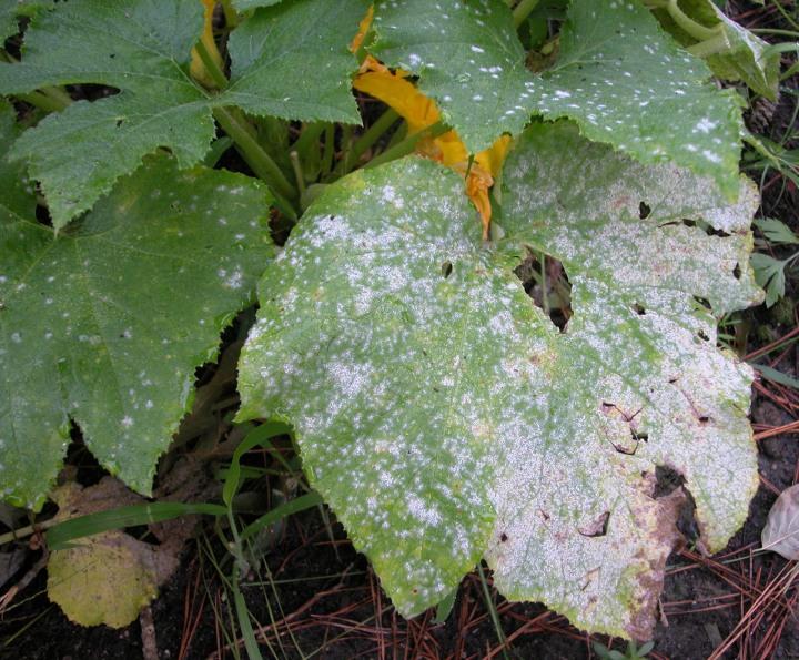 Quand les feuilles des courges et des concombres blanchissent jardinier paresseux - Quand planter les courgettes ...