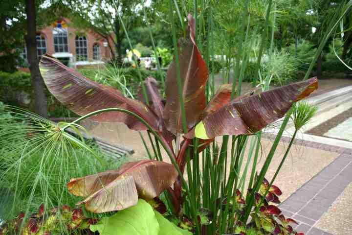 Cultivez un bananier à l\'intérieur – Jardinier paresseux