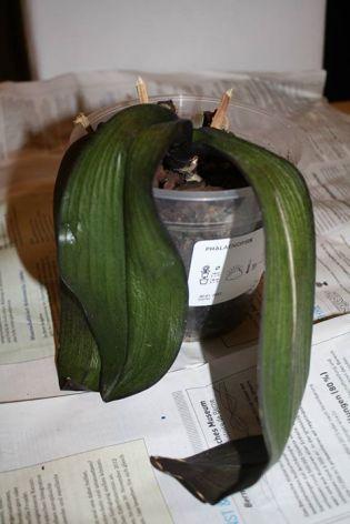rempotage orchid es jardinier paresseux. Black Bedroom Furniture Sets. Home Design Ideas