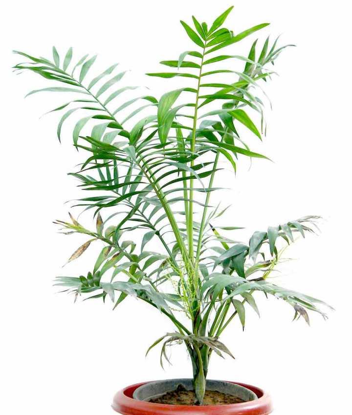 Chamaedorea elegans jardinier paresseux - Quand tailler un palmier ...