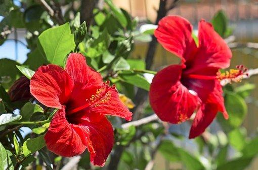 Quand fleurit l 39 hibiscus d 39 int rieur id e d 39 image de fleur - Hibiscus d interieur entretien ...