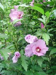 Hibiscus arbustif (Hibiscus syriacus)