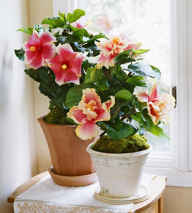 cultiver un hibiscus l int rieur jardinier paresseux. Black Bedroom Furniture Sets. Home Design Ideas